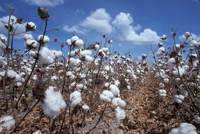 Plantation de Coton pour la confection de jeans